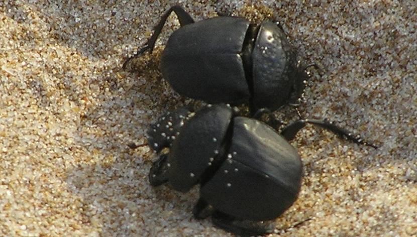 escarabeo